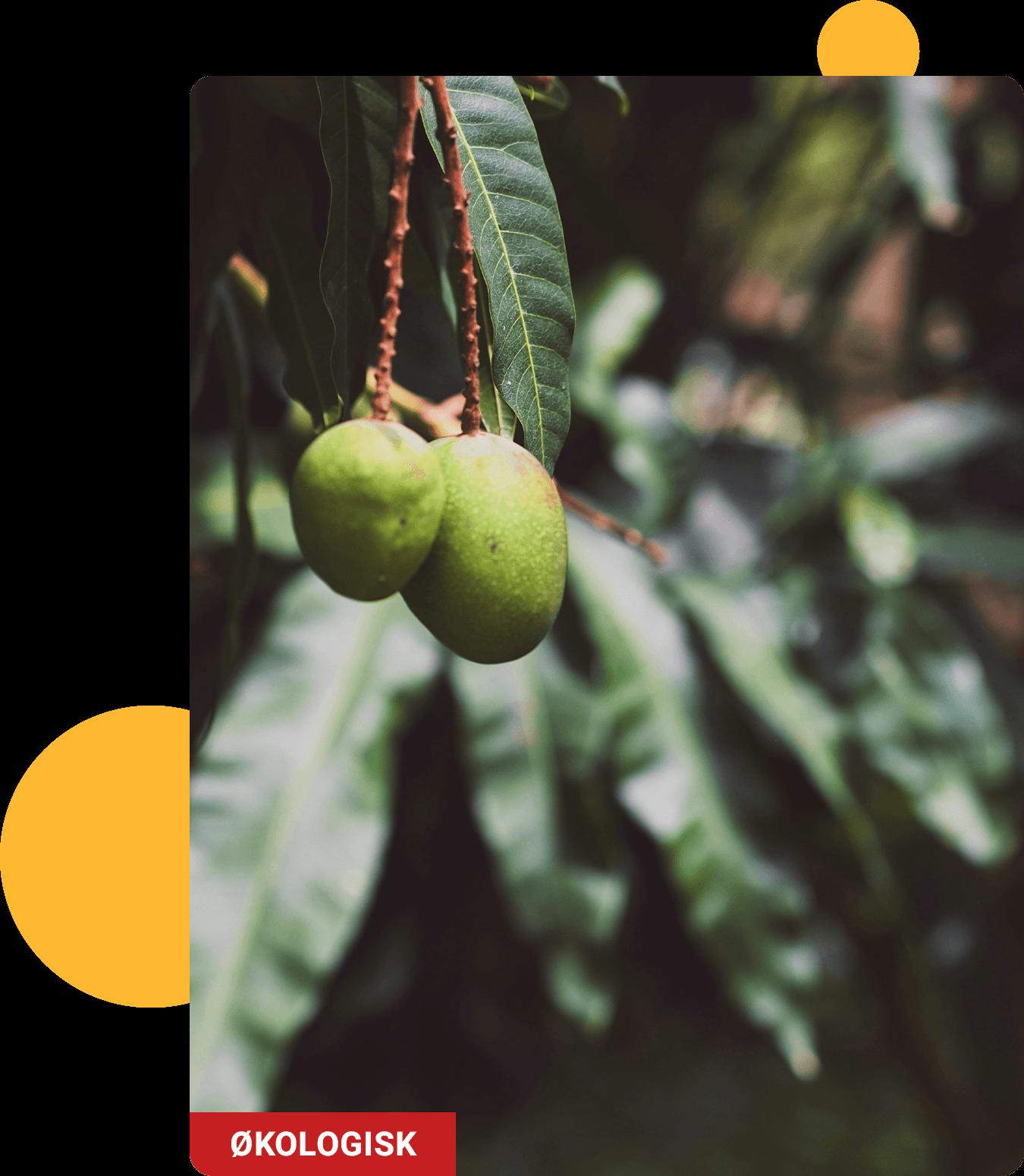 Fresh Mango fruits - Organic
