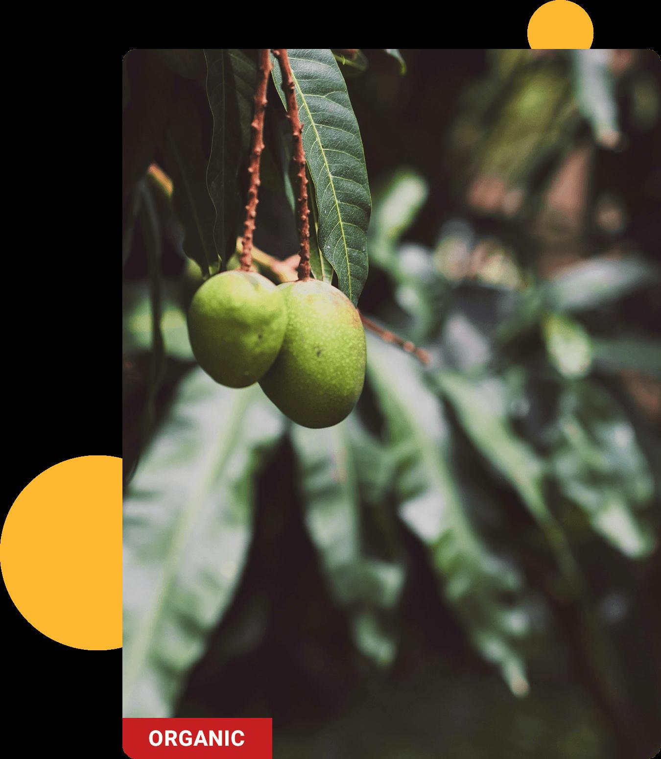 Friske økologiske mangofrugter
